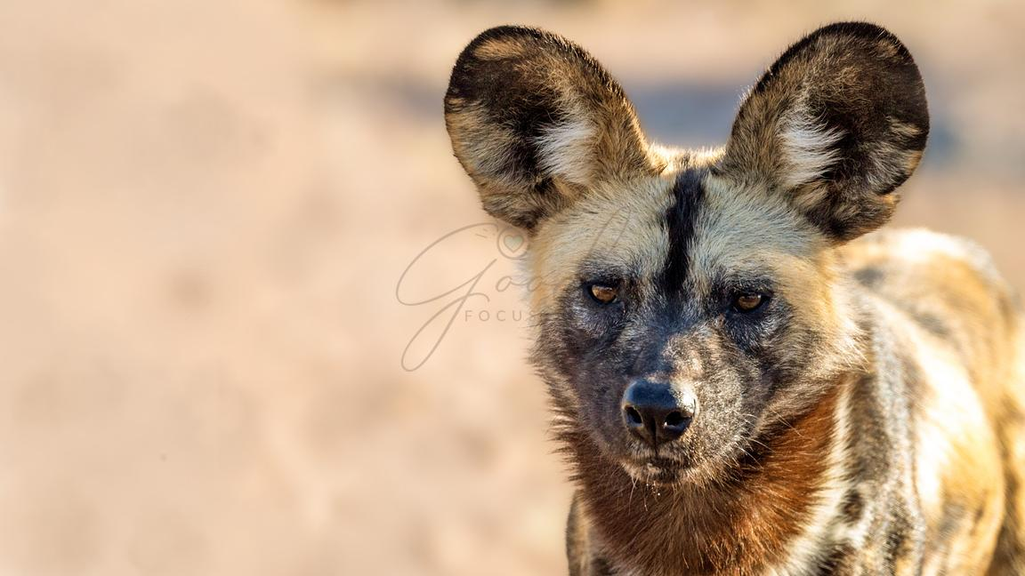 African Wild Dog Closeup
