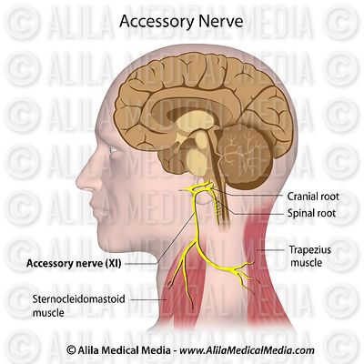 Accessory nerve labeled.