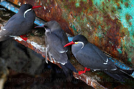 Adult and juvenile (centre) Royal or Inca terns ( Lorosterna inca )