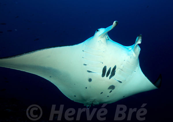 Tank diving with Manta Ray in Rangiroa's atoll