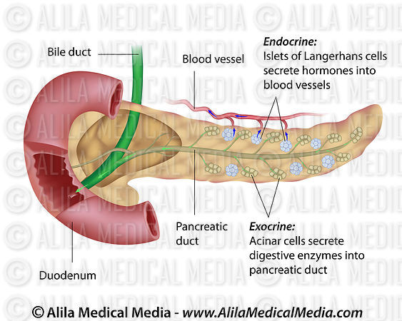 Alila Medical Media | Pancreas anatomy | Medical illustration