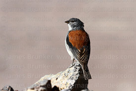 Adult red-backed sierra finch (Phrygilus dorsalis)