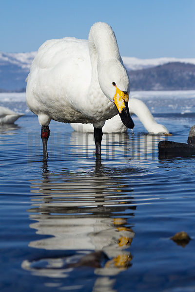 Whooper Swan Feeding in Hot Spring