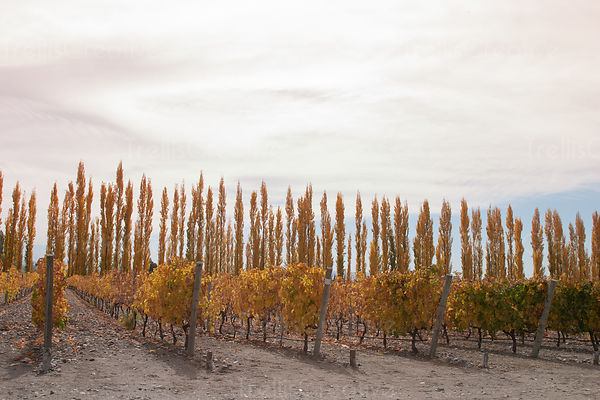 Autumn poplar trees behind vineyard. Dusty, dirt underneath, golden leaves. Sky. Landscape view.