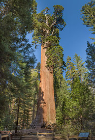 General Grant tree (Sequoiadendron giganteum) - is the largest sequoia in General Grant Grove section of Kings Canyon National Park, CA