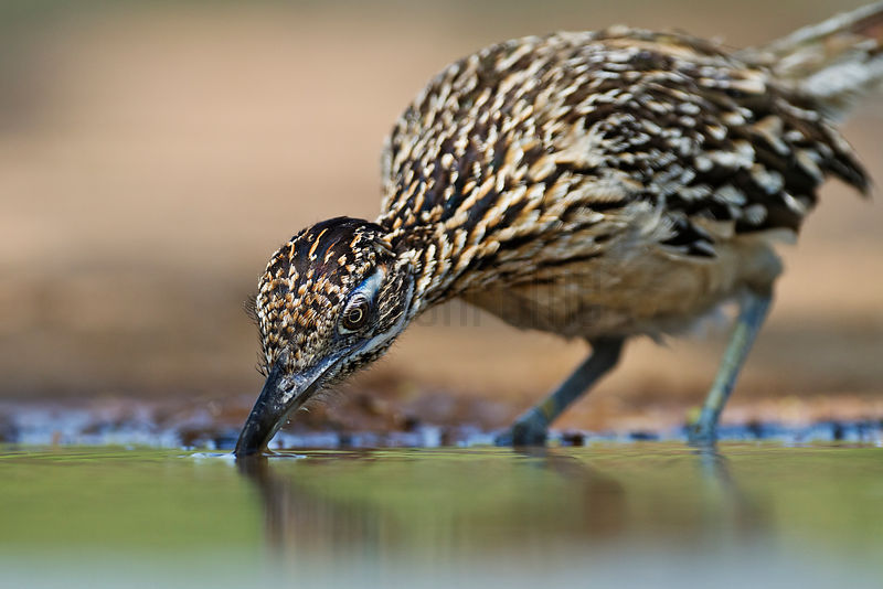 Greater Roadrunner Drinking at Waterhole