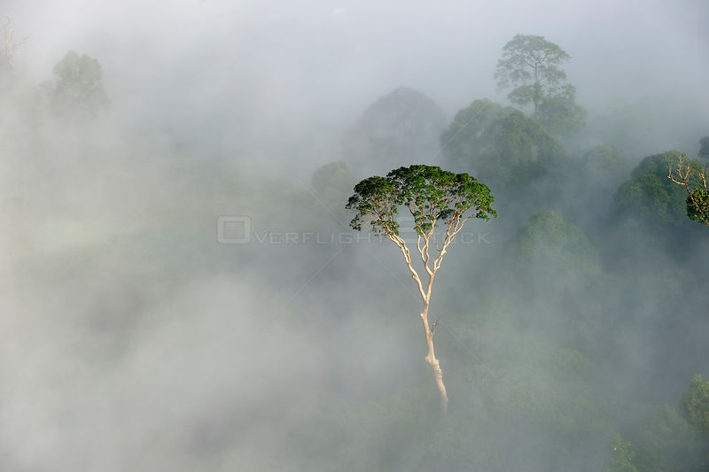 Emergent Menggaris Tree / Tualang (Koompassia excelsa) protruding from mist and low cloud hanging over lowland rainforest. Danum Valley, Sabah, Borneo.