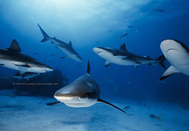 GBI, Freeport, Caribbean Reef Sharks, underwater, group of 6