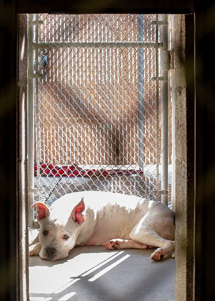 Sad Pit Bull Dog Lying in Shelter Kennel