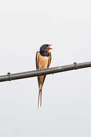 Barn Swallow Hirundo rustica singing from telephone wire Northumberland summer