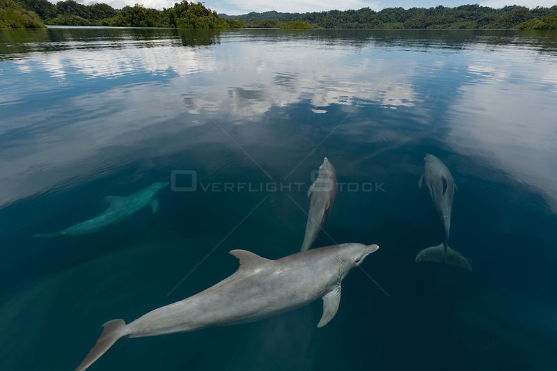 Indo-Pacific bottlenose dolphins (Tursiops aduncus) just below surface in flat calm  waters. Raja Ampat, West Papua, Indonesia, February 2010