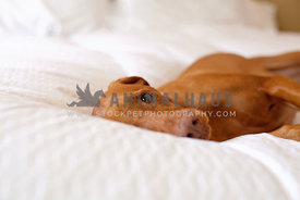 Vizsla-On-Bed-With-White-Comforter