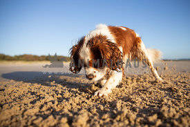 Dog digging a hole and scratching up the sand