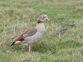 Egyptian Goose Alopochen aegyptiaca adult (grey type - has pale head and weaker mask on face) Salthouse Norfolk