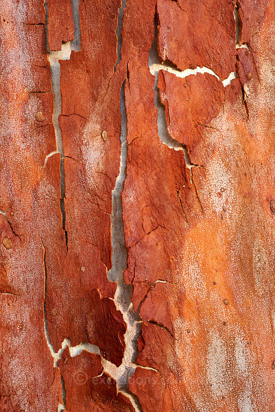 Peeling bark, Lemon Scented Gum.
