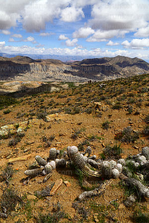 Cactus on hillside above Cienagillas and view over Tomayapo valley, Tarija Department, Bolivia