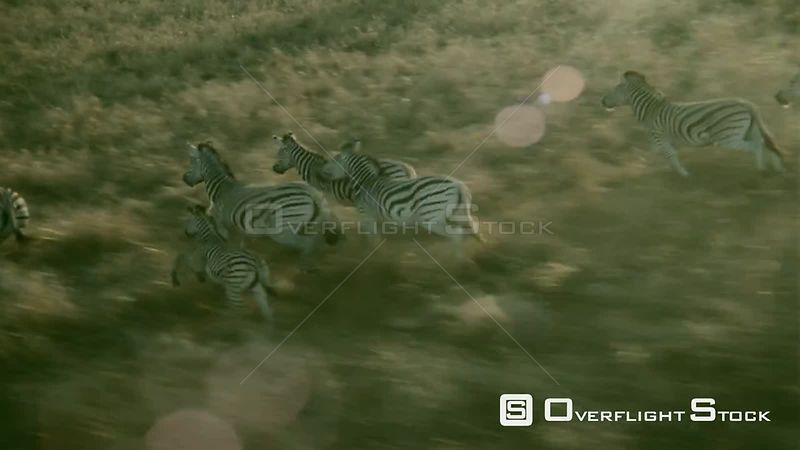 Aerial wide angle shot herd of adult zebra and foal running together along brown grassy plain Zimbabwe