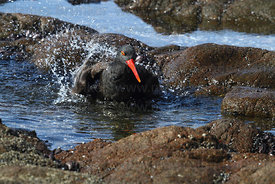 Blackish oystercatcher ( Haematopus ater ) bathing in rock pool