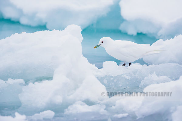 Pure white ivory gull with blue ice as background