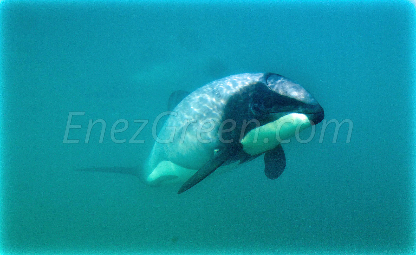 Swimming with Hector's dolphins New-Zealand