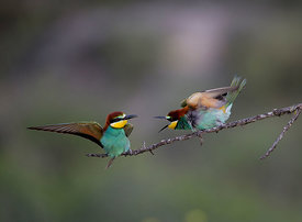 Bee-eater Merops apiaster Spanish Steppes Spain May