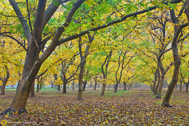 Walnut Orchards in Fall #8