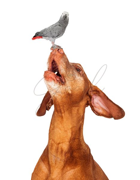 Vizsla Dog Bird on Nose