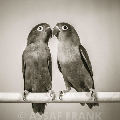 Two love birds kissing