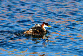 Titicaca flightless grebe (Rollandia microptera) carrying young on back