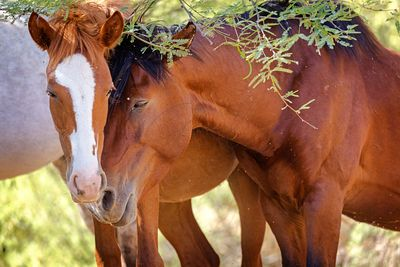 Two Wild Horses in Love