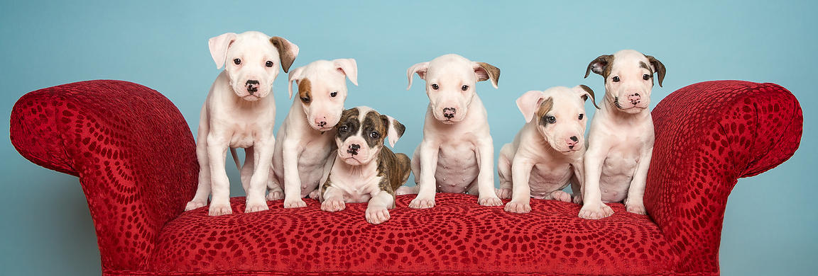 Six adorable puppies on a red couch.