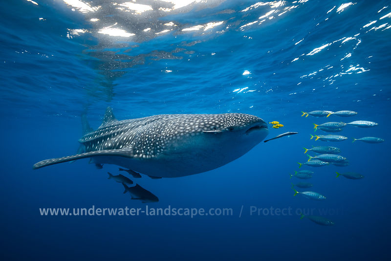 Tuna Shoal and whale shark