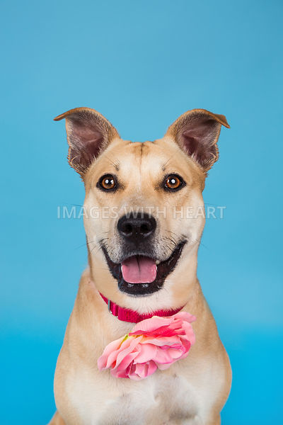 Close up of happy dog with pink flower looking at camera