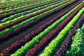 Rows of Mixed Greens in the Field #6