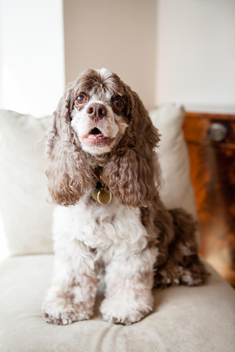 Portrait of a Cocker Spaniel at his home in Washington DC.