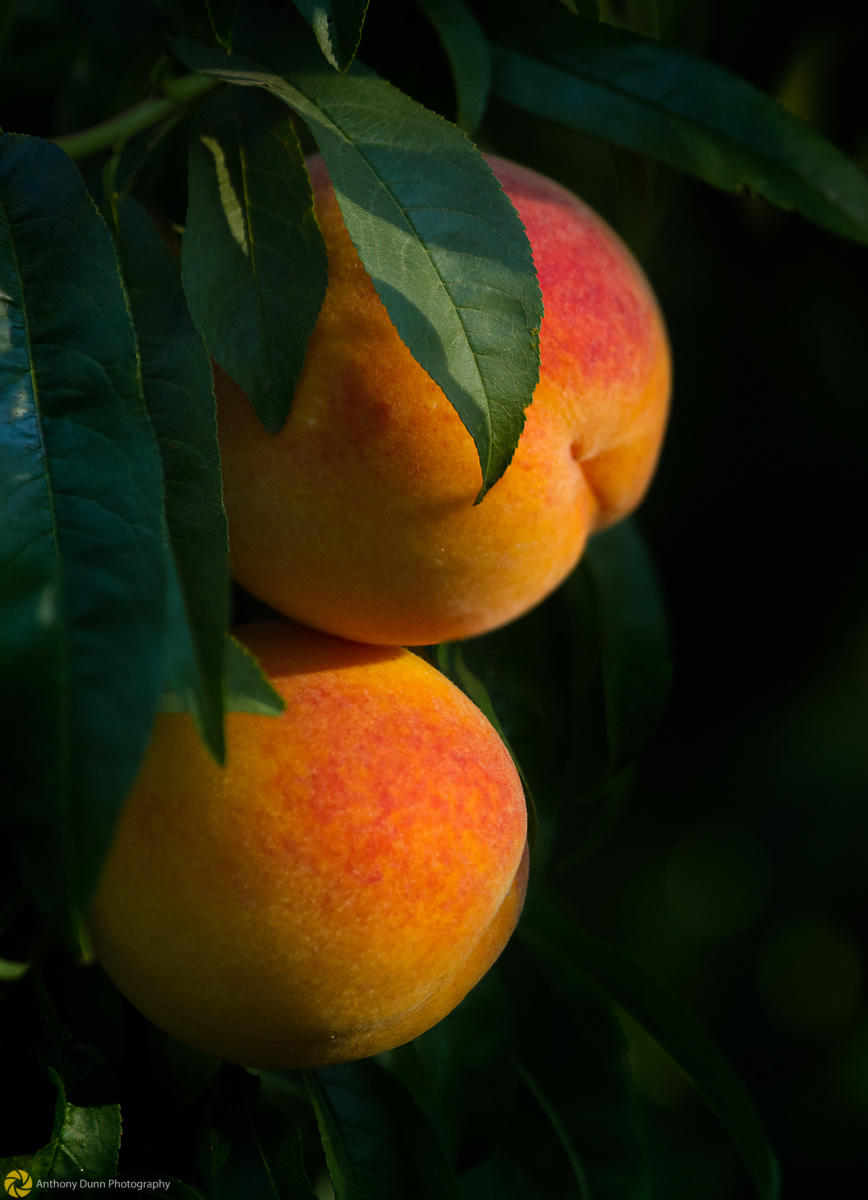 Ripe Peaches on the Tree #7