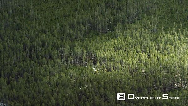 A dense lodgepole forest in Yellowstone National Park transitions from old forest to recently burned new forest