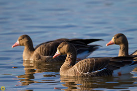 White-fronted Geese #11