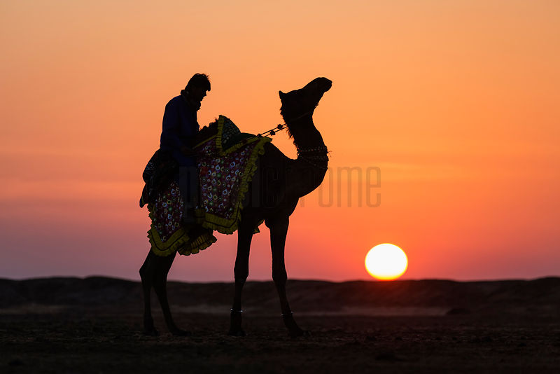Portrait of a Camel and Rider at Sunset