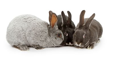 Three Rabbits of Different Colors