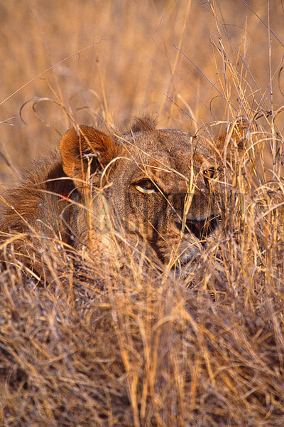 Lion Camouflaged in grass