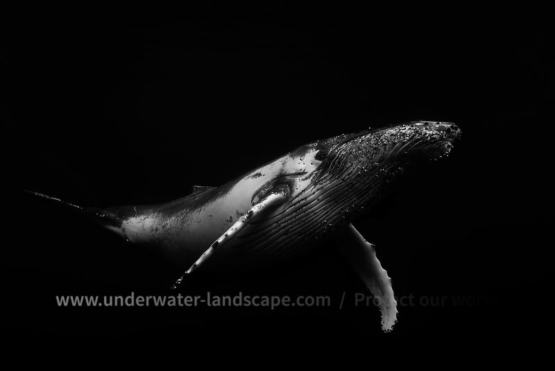 Humpback Whale in Black and white