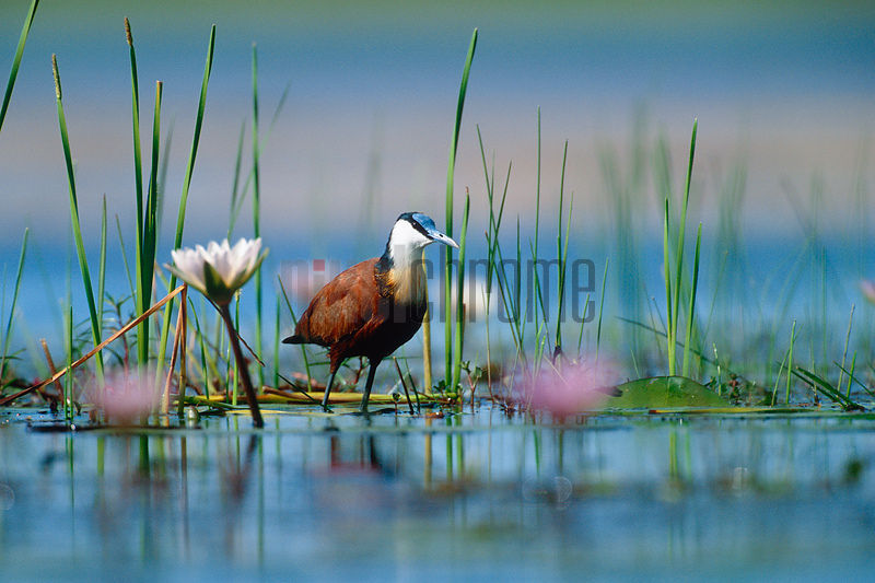 African Jacana in Swamp