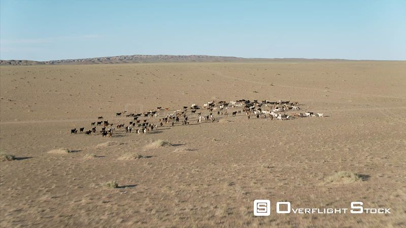 Livestock in the  South Gobi Mongolia