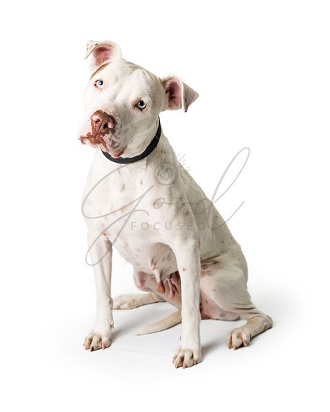 White Pit Bull Dog Sitting Tilting Head