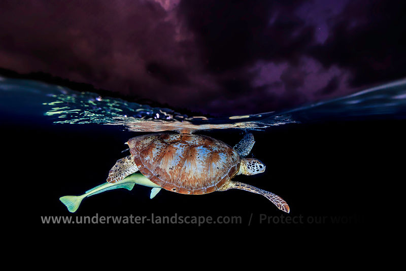 Green turtle at night