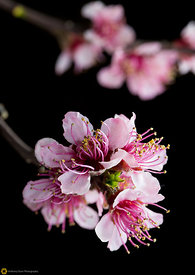 Peach Blossoms # 8