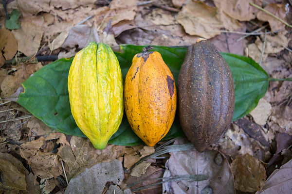 Organic and fair trade cocoa from Sao Tome photos