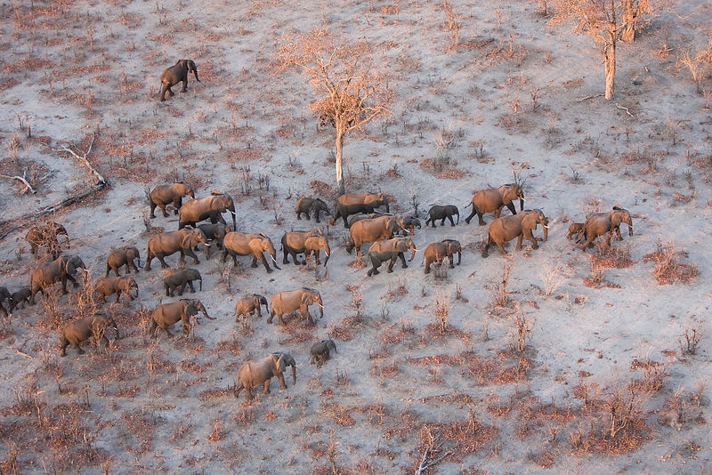 Aerial view of African elephants (Loxodonta africana) migrating across parched landscape in their search for food and water during a drought.   Linyanti, Northern Botswana.  Taken on location for BBC Planet Earth series, October 2005