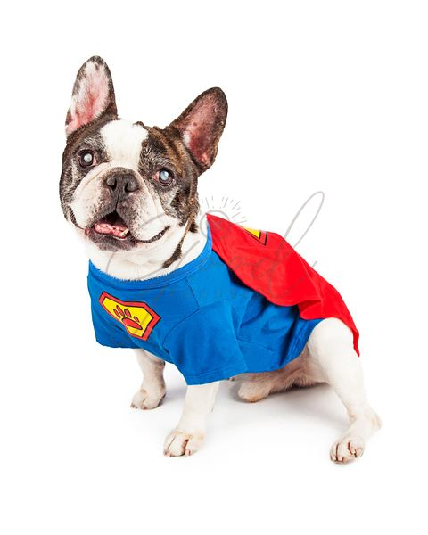French Bulldog Dog in Super Hero Costume